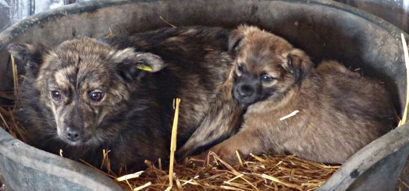 GLASGOW, chiot mâle, né fin novembre 2015 (Pascani)-REMEMBER ME LAND 12622311