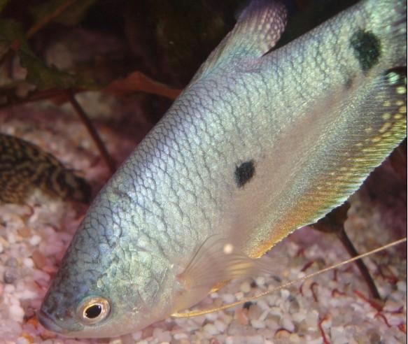 Trichogaster Trichopterus Trihaa10