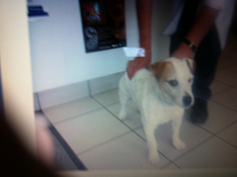 abricot jack russell 5 ans   Img_0210