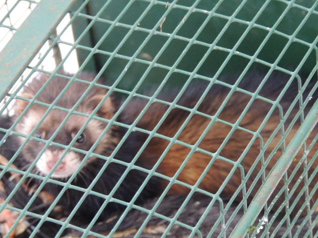 Volailles tuées dans le poulailler nuit après nuit : reconnaître un putois [photos] Dscn5315