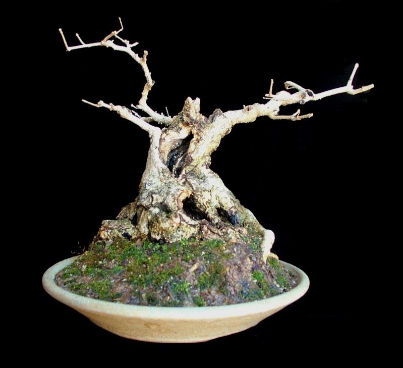 Gmelina hystrix - stump and virtual Gmelin13