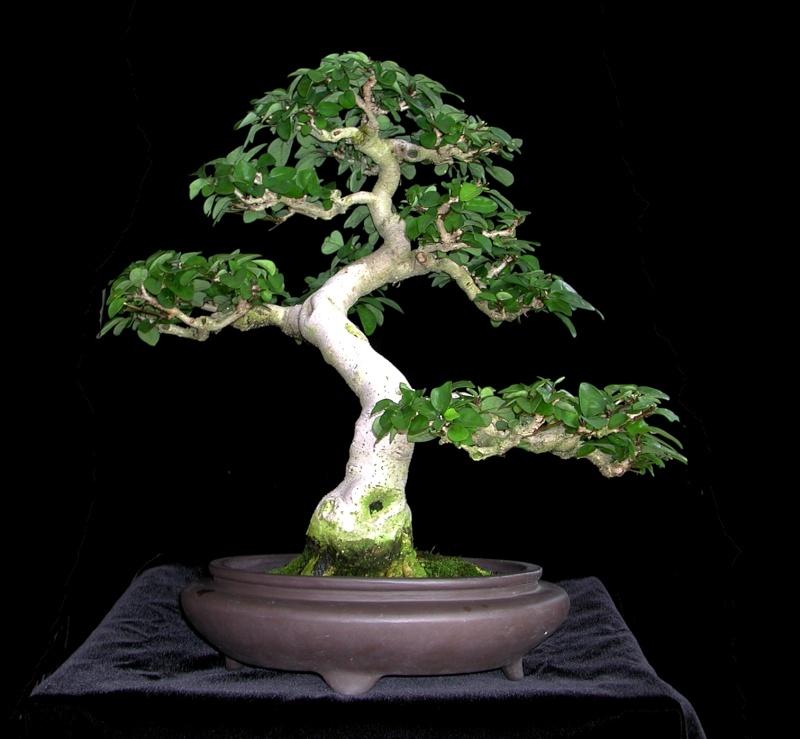 Gmelina hystrix - stump and virtual Gmelin15
