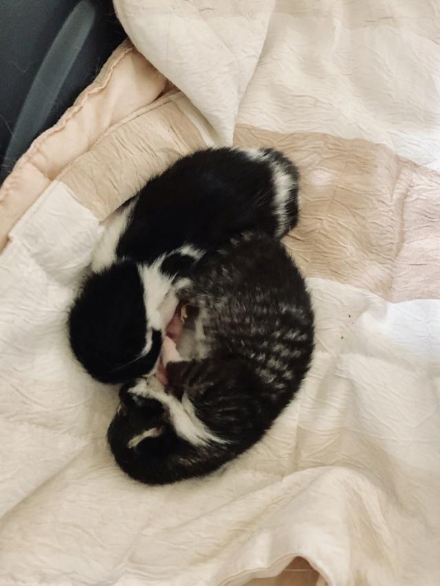 Arya, maman typée siam' avec ses deux bébés 23e6ae10