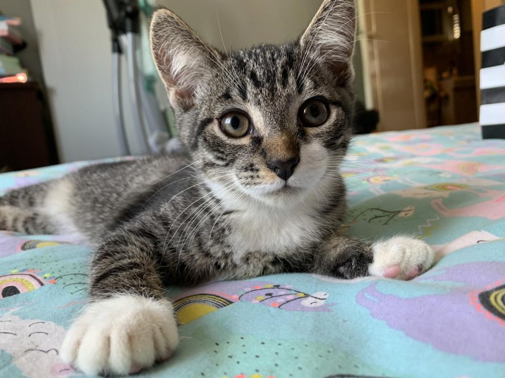 Roudoudou, chaton tigré né en mai 2019 36e56510