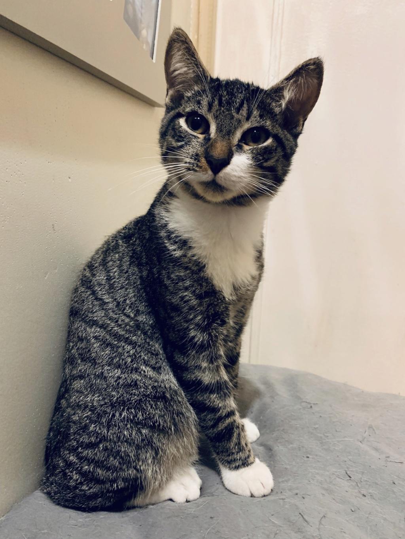 Roudoudou, chaton tigré né en mai 2019 77e91610