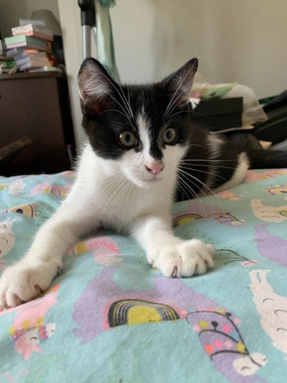 Valentin, chaton noir et blanc né le 3 mai 2019 98fa7110