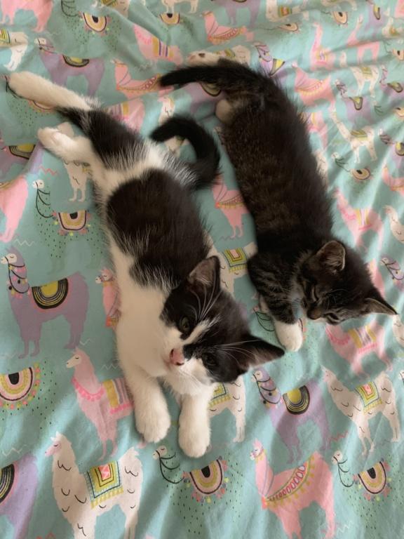 Valentin, chaton noir et blanc né le 3 mai 2019 9d06b210