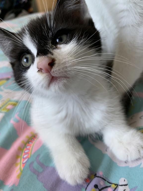 Valentin, chaton noir et blanc né le 3 mai 2019 Cf9a1610