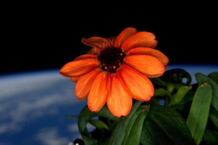 Ecco il primo fiore sbocciato nello spazio 8bb5ac10