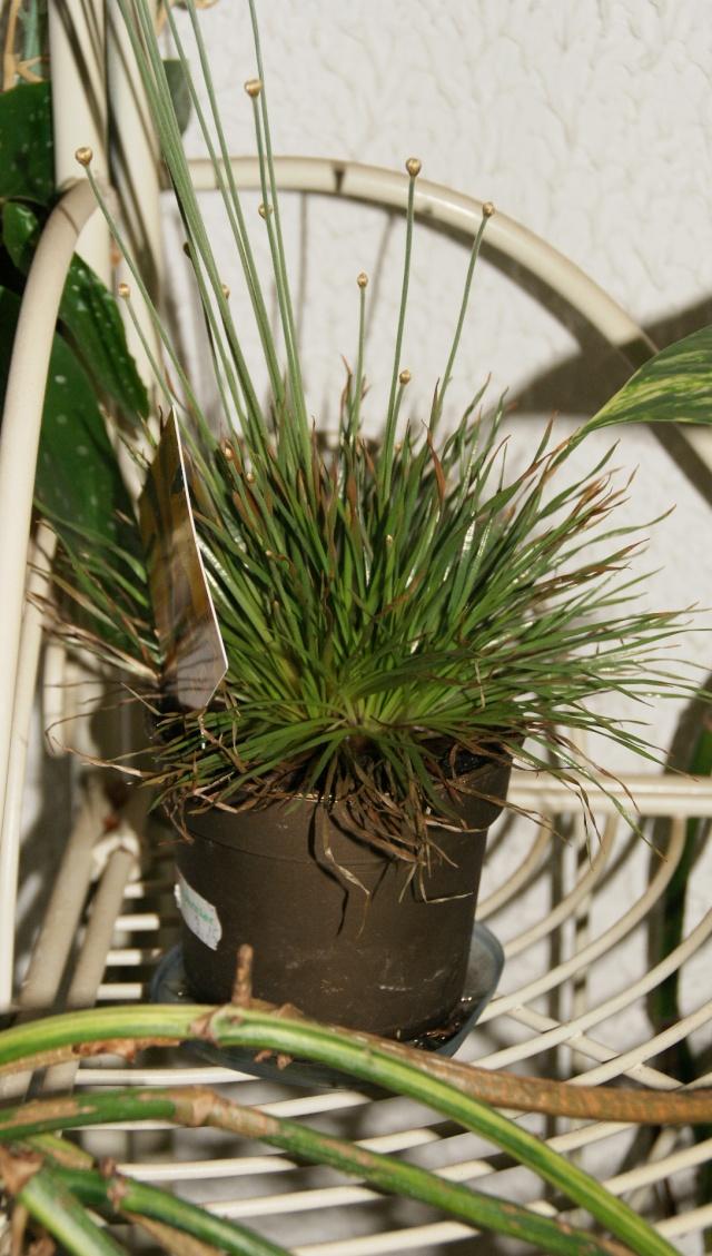 Plante Mikado Dsc01223