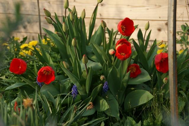 Tulipes. Dsc01623