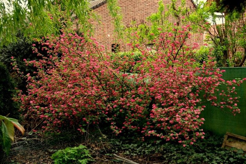 Groseiller a fleurs (Ribes sanguineum) - Page 2 Dsc01625