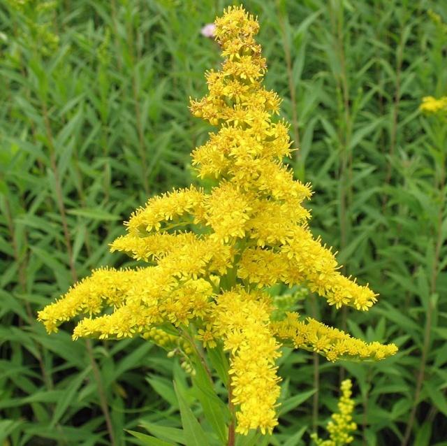 Aeonium arboreum var. atropurpureum Identification plante grasse fleurie ? Solida10