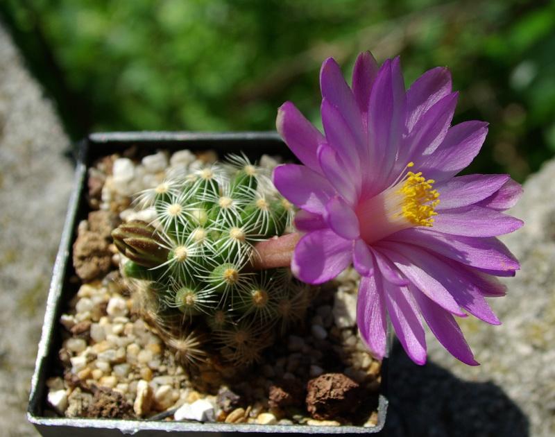 Mammillaria rozcekii Mammil14