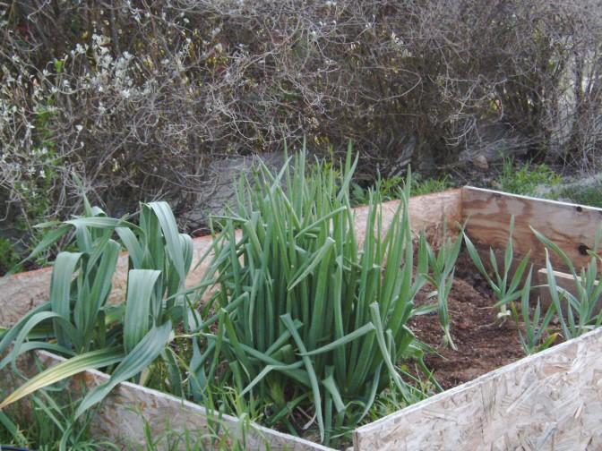 Egyptian Walking Onions Egypti10