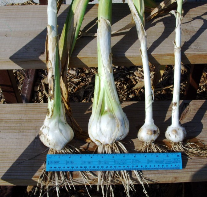 Raised bed garlic vs. in ground Garlic10