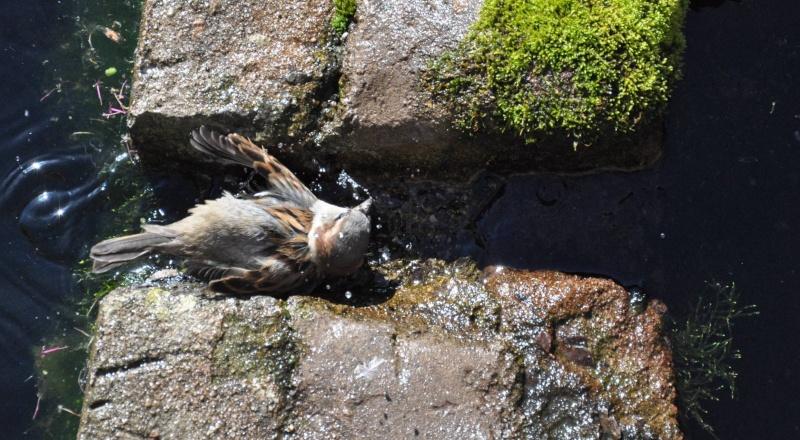 Aveyronnaise 1 : Le bain des moineaux de Conques Bain_d11