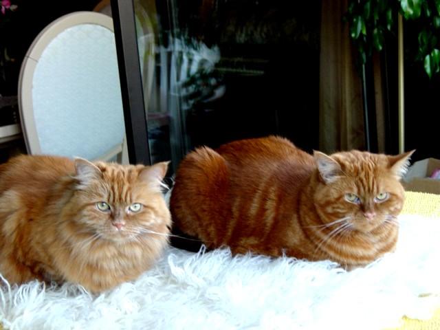 Le chat qui se veut plus féroce que le tigre Mes_de10