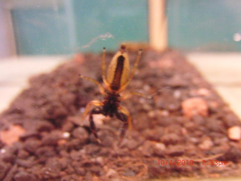 My pet jumping spider! Cimg0417