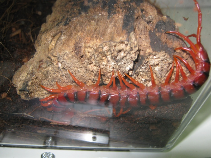 Scolopendra subspinipes Img_1010