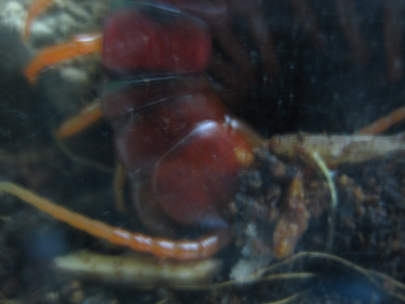 Scolopendra subspinipes Img_1011