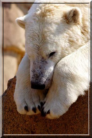 Les ours Freedo12