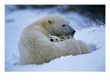 Les ours Freedo13
