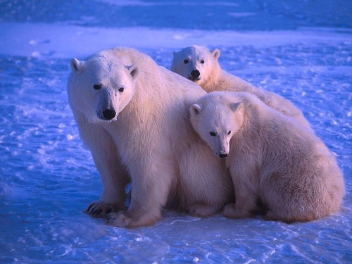 Les ours Freedo14