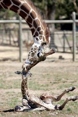 Naissances, tout ptits… Girafo10