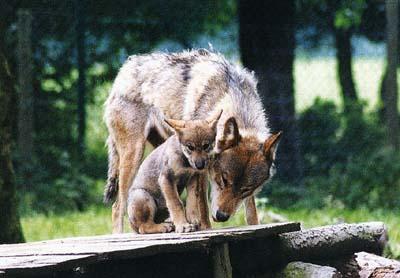 Les loups Louvet10