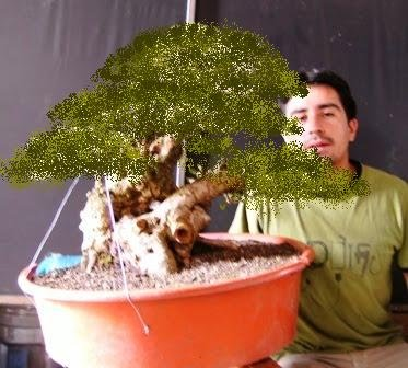 Bonsai from the Andes in South America Ecuador 15_sep13