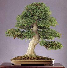 Bonsai from the Andes in South America Ecuador Cotone12