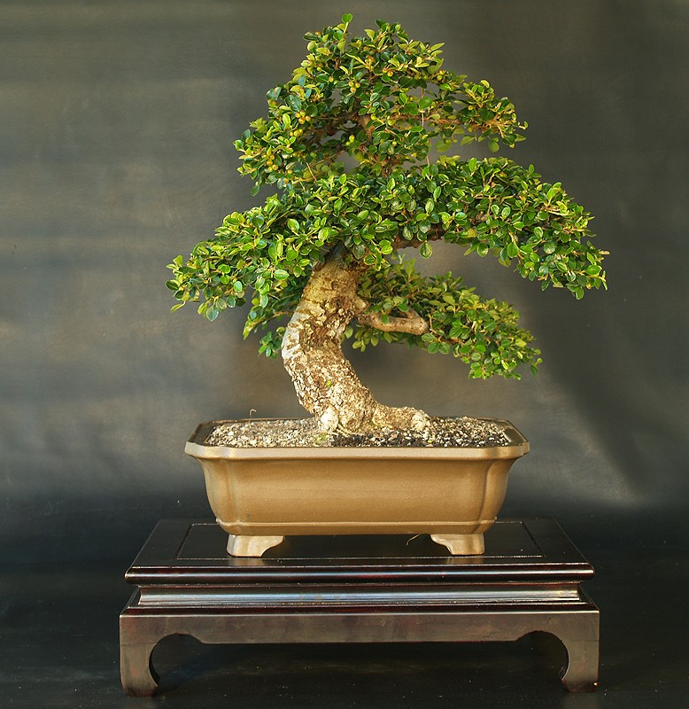 Bonsai from the Andes in South America Ecuador Cotone13