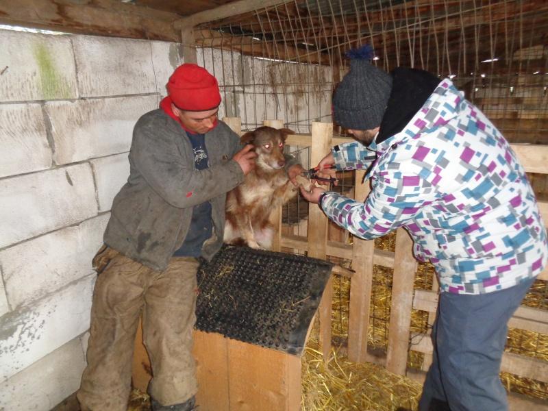 LAORA, femelle rescapée d'Oltenita du 30 avril 2015, née fin 2013, marron roux - marrainée par lilirez2 - SOS-R-SC 04012