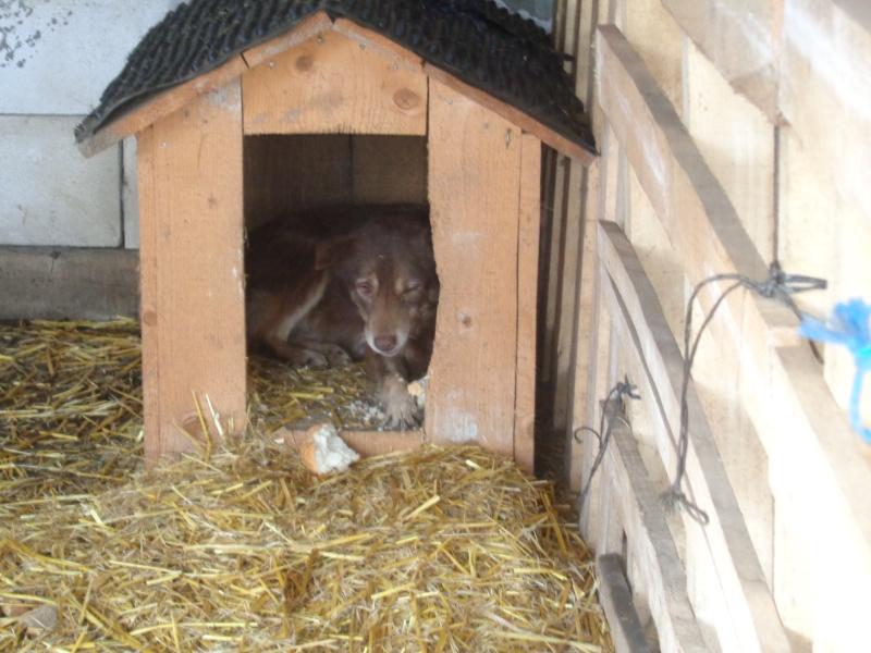 LAORA, femelle rescapée d'Oltenita du 30 avril 2015, née fin 2013, marron roux - marrainée par lilirez2 - SOS-R-SC 05910