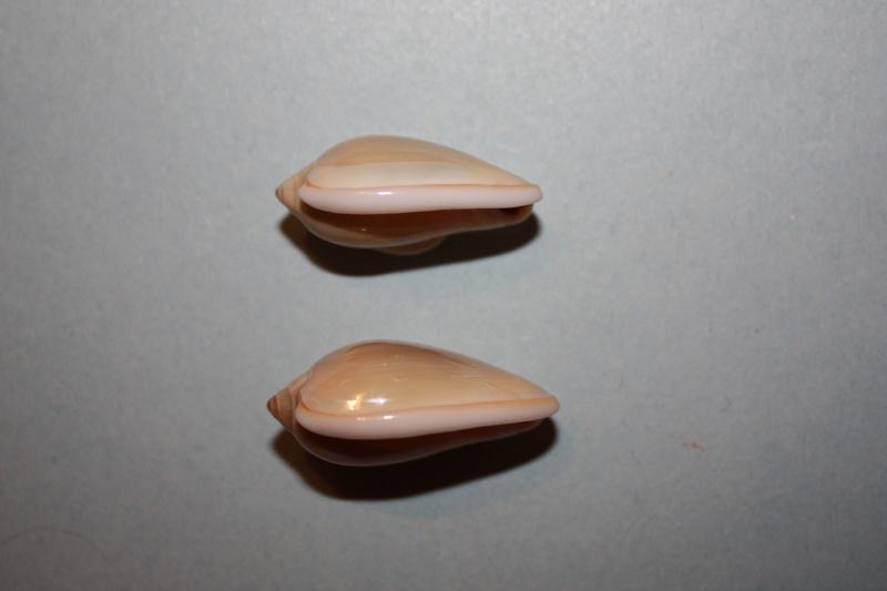 Prunum prunum - (Gmelin, 1791) 80-pru10