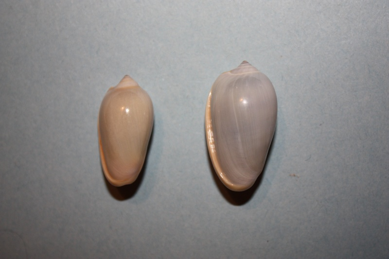 Prunum prunum - (Gmelin, 1791) 81-pru10