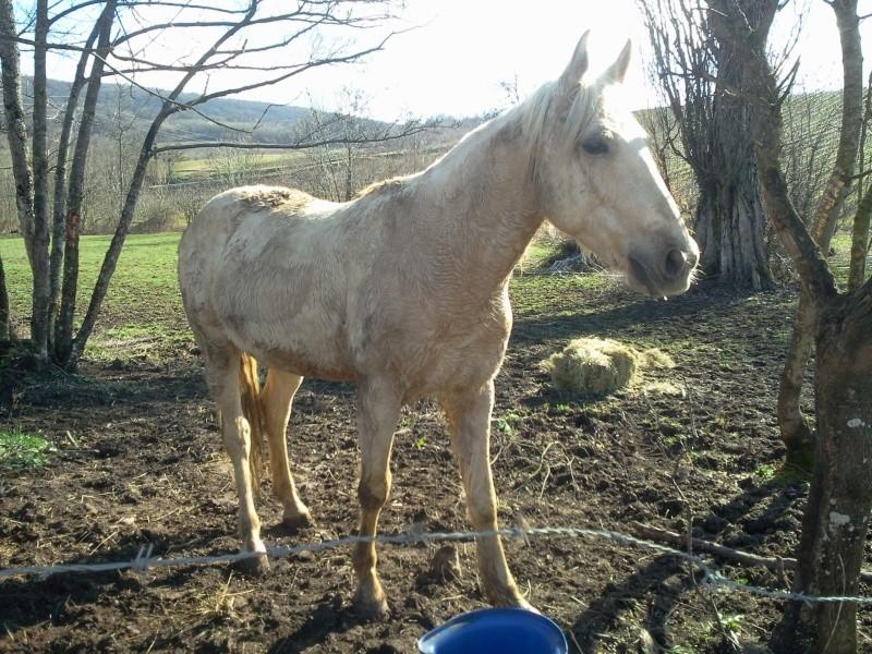 BANDEROS dit LULU- Palomino né en 2003 - adopté en mars 2011 par Isaline Photo018