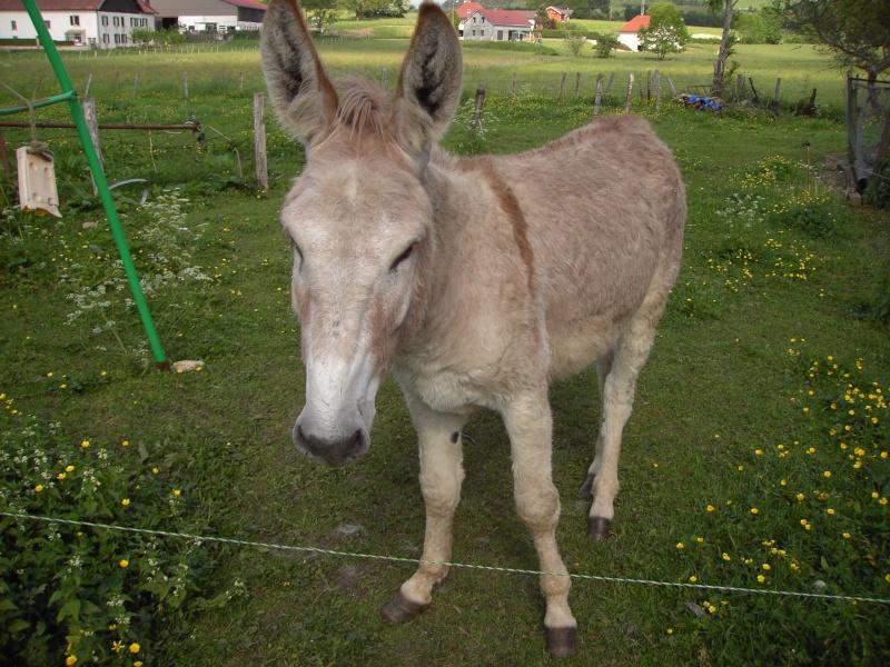 ZEBULON - ONC âne né en 2008 - adopté en octobre 2010 par Anita Pict1211