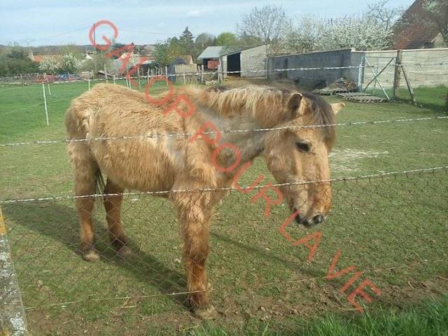 SAM - Poney typé Henson né en 1986 - adopté en septembre 2011 par Emeline Sam711