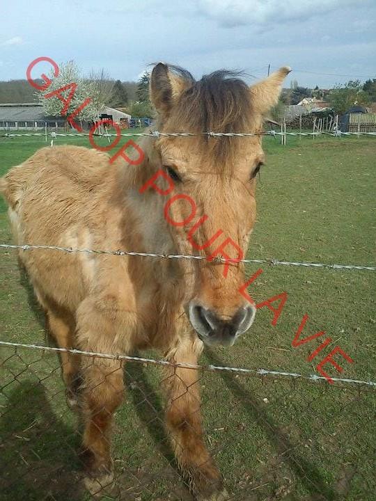 SAM - Poney typé Henson né en 1986 - adopté en septembre 2011 par Emeline Sam810