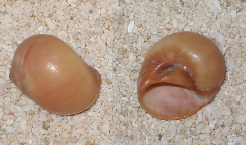 Deux Naticidae à identifier (2ème Natica fasciata (RÖDING, 1781)) Classé sans suite le 21/05/2014 Fascia10