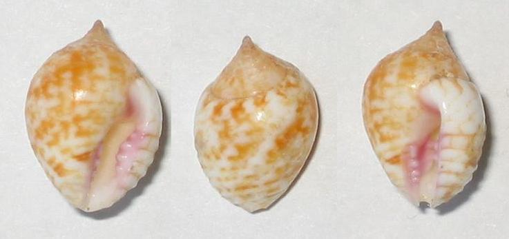 Euplica turturina - (Lamarck, 1822) Kas11