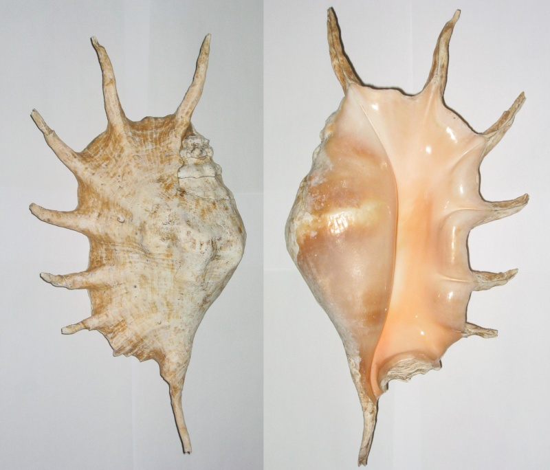 Lambis truncata sebae - (Kiener, 1843) Lambis10