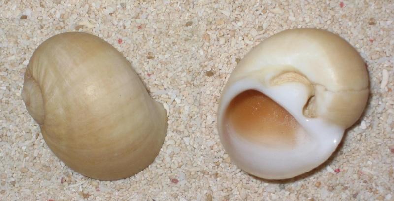 Deux Naticidae à identifier (2ème Natica fasciata (RÖDING, 1781)) Classé sans suite le 21/05/2014 Polini10