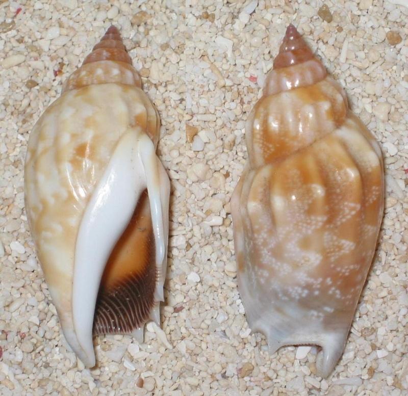 Strombidae Tridentarius dentatus - (Linnaeus, 1758) Stromb11