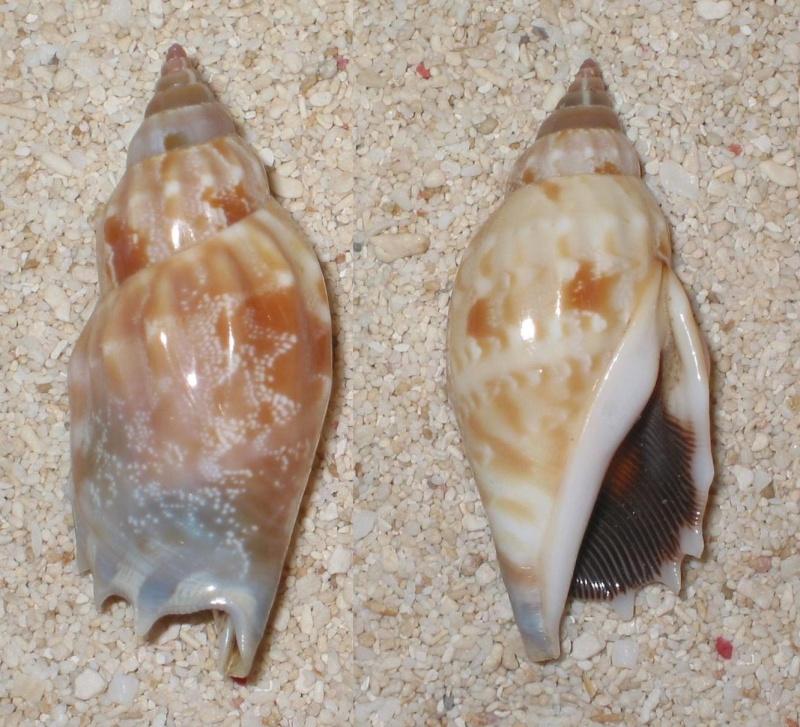 Strombidae Tridentarius dentatus - (Linnaeus, 1758) Stromb12