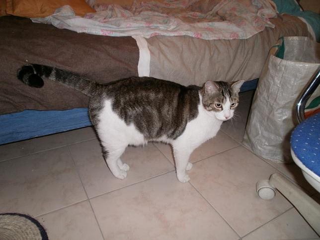 Tigrou, chat male castré de 3 ans (adopté) P1010411