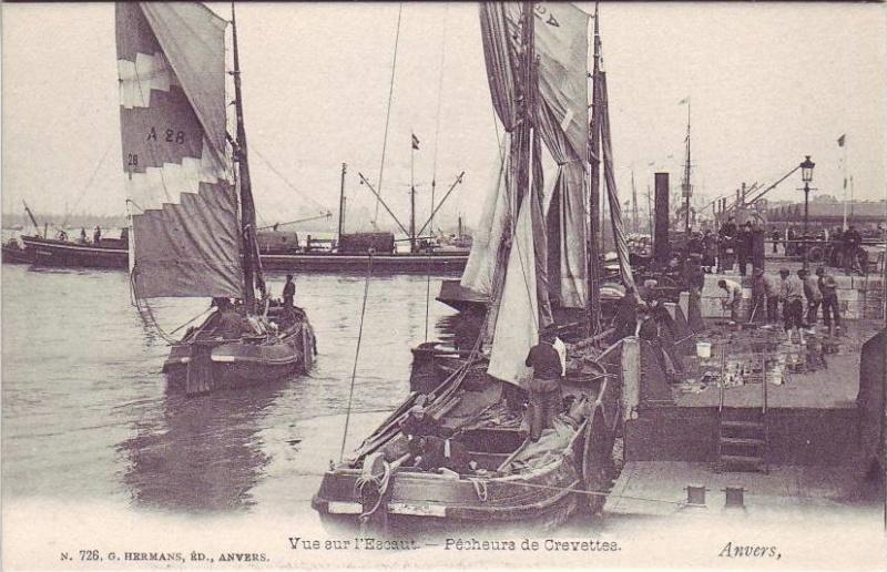 Crevettier d'Anvers Knotse10