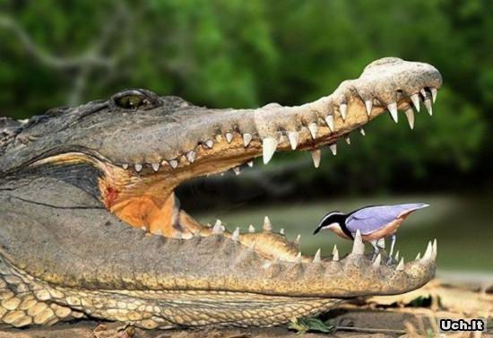 Ami des crocodiles 12789210